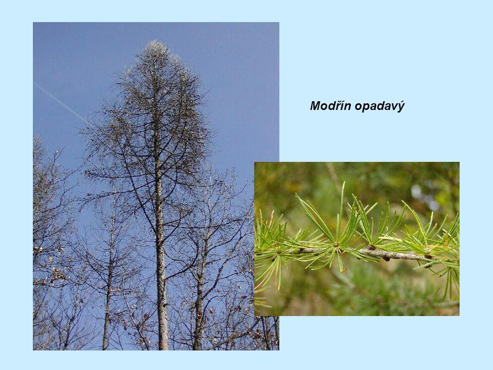 Zajímavosti: -jehličnany nejlépe snášejí drsné podmínky (tvoří obvykle horní hranici lesa)