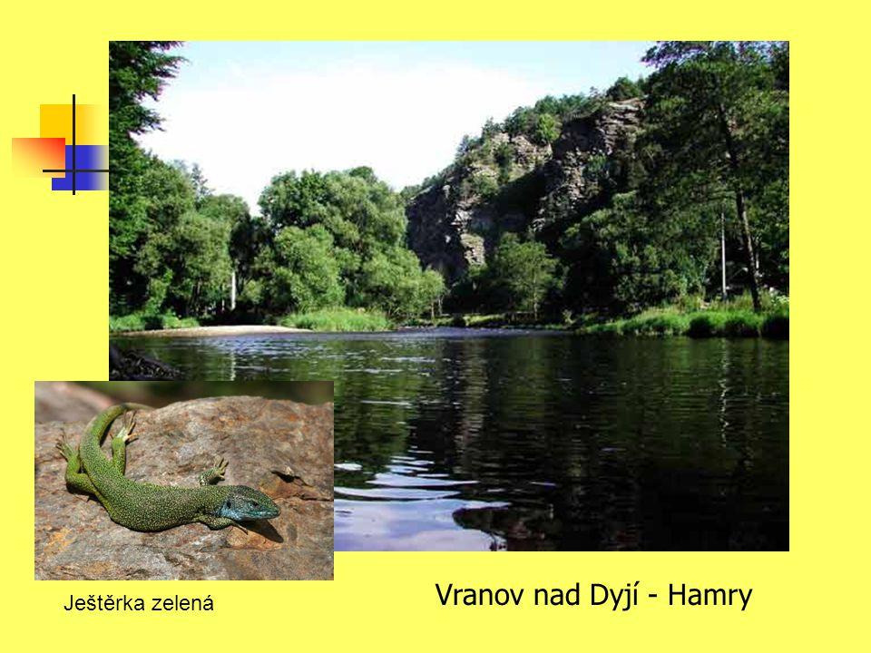 Vranov nad Dyjí - Hamry Ještěrka zelená