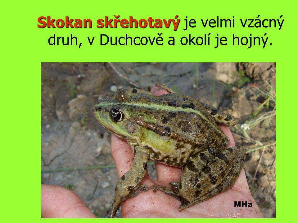 Skokan skřehotavý Skokan skřehotavý je velmi vzácný druh, v Duchcově a okolí je hojný.