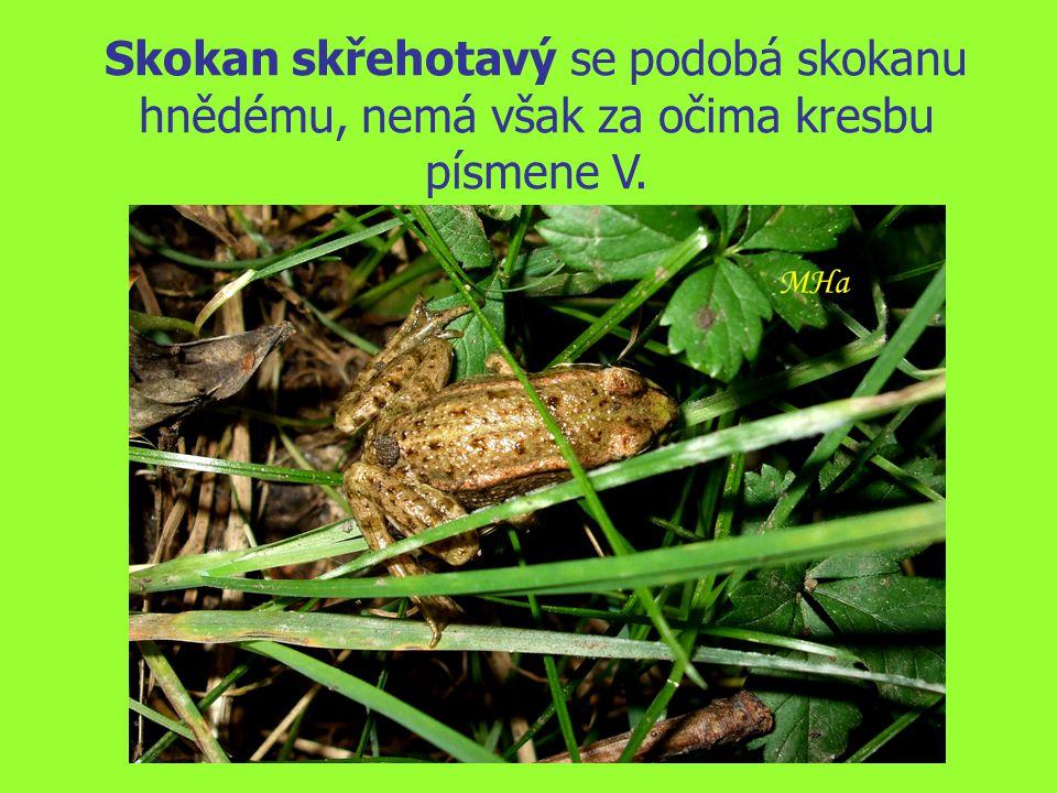 Skokan skřehotavý se podobá skokanu hnědému, nemá však za očima kresbu písmene V.