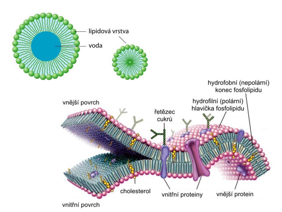 Složené lipidy Fosfolipidy alkohol: glycerol nebo sfingosin kyseliny: vyšší mastné kyseliny a …………………. dusíkatá látka vázaná přes k. fosforečnou polár