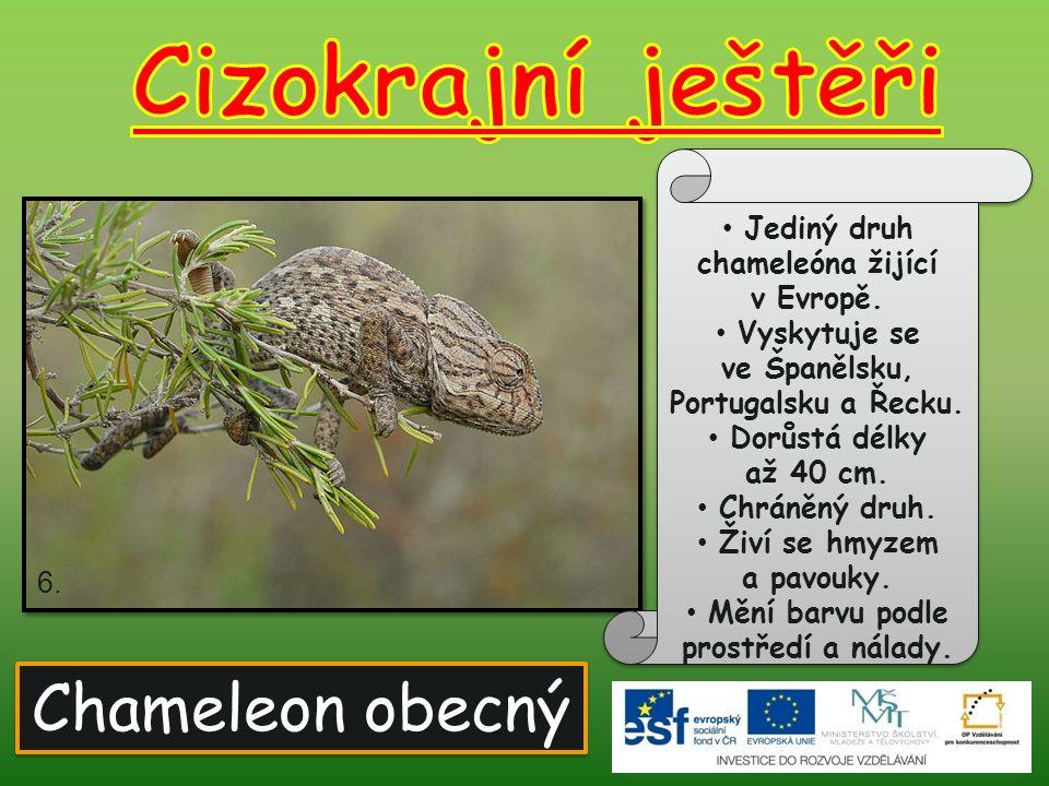 Chameleon obecný Jediný druh chameleóna žijící v Evropě. Vyskytuje se ve Španělsku, Portugalsku a Řecku. Dorůstá délky až 40 cm. Chráněný druh. Živí s