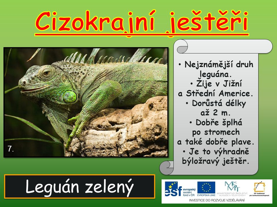 Leguán zelený Nejznámější druh leguána. Žije v Jižní a Střední Americe. Dorůstá délky až 2 m. Dobře šplhá po stromech a také dobře plave. Je to výhrad