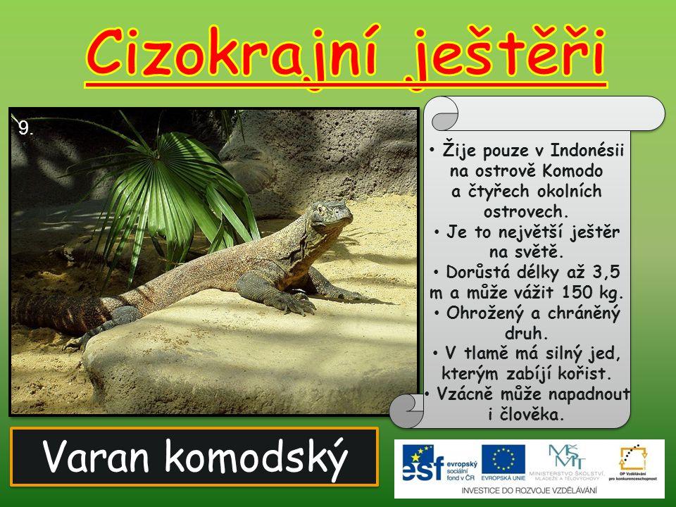 Varan komodský Žije pouze v Indonésii na ostrově Komodo a čtyřech okolních ostrovech. Je to největší ještěr na světě. Dorůstá délky až 3,5 m a může vá
