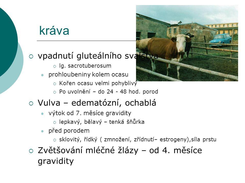 kráva  vpadnutí gluteálního svalstva  lg. sacrotuberosum prohloubeniny kolem ocasu  Kořen ocasu velmi pohyblivý  Po uvolnění – do 24 - 48 hod. por