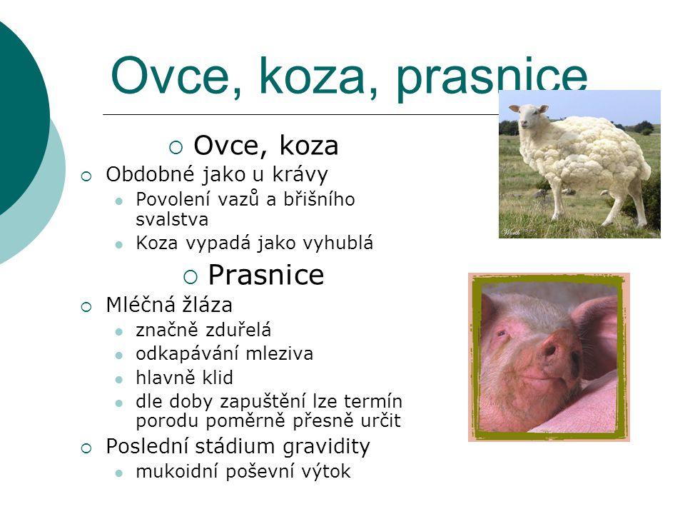 Ovce, koza, prasnice  Ovce, koza  Obdobné jako u krávy Povolení vazů a břišního svalstva Koza vypadá jako vyhublá  Prasnice  Mléčná žláza značně z