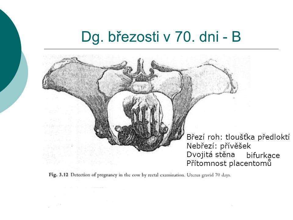 Dg. březosti v 70. dni - B Březí roh: tloušťka předloktí Nebřezí: přívěšek Dvojitá stěna Přítomnost placentomů bifurkace