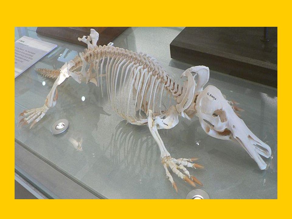 zajímavosti ptakopyska: - ve volné přírodě se dožívá 16 let - masožravec - nízký metabolismus (prům.teplota těla 32°C) - vnitřní ucho je začleněno přímo do lebky, zevní sluch.orgán je ale ve spod čelisti - nohy jsou po straně těla, ne pod ním - na zadních nohách jedovaté ostruhy (zbůsobují nesnesitelnou bolest a otoky i po několik měsíců) - snáší vejce - samice nemají mléčné bradavky, vylučují mléko pomocí kožních záhybů - elektrocitlivý smysl (receptory na zadní straně zobáku, mechanoreceptory po celém zobáku)