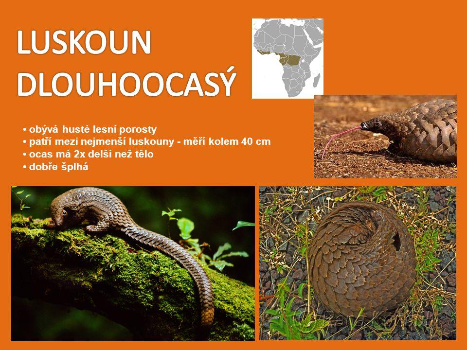 obývá husté lesní porosty patří mezi nejmenší luskouny - měří kolem 40 cm ocas má 2x delší než tělo dobře šplhá