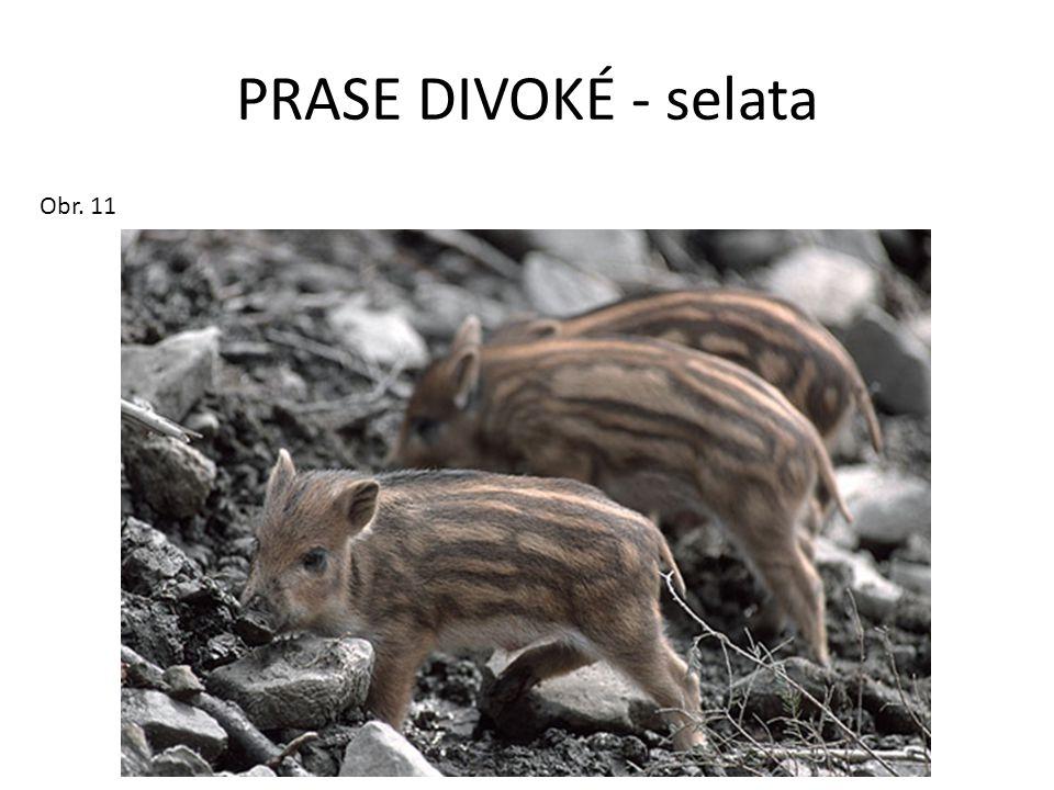 PRASE DIVOKÉ - selata Obr. 11