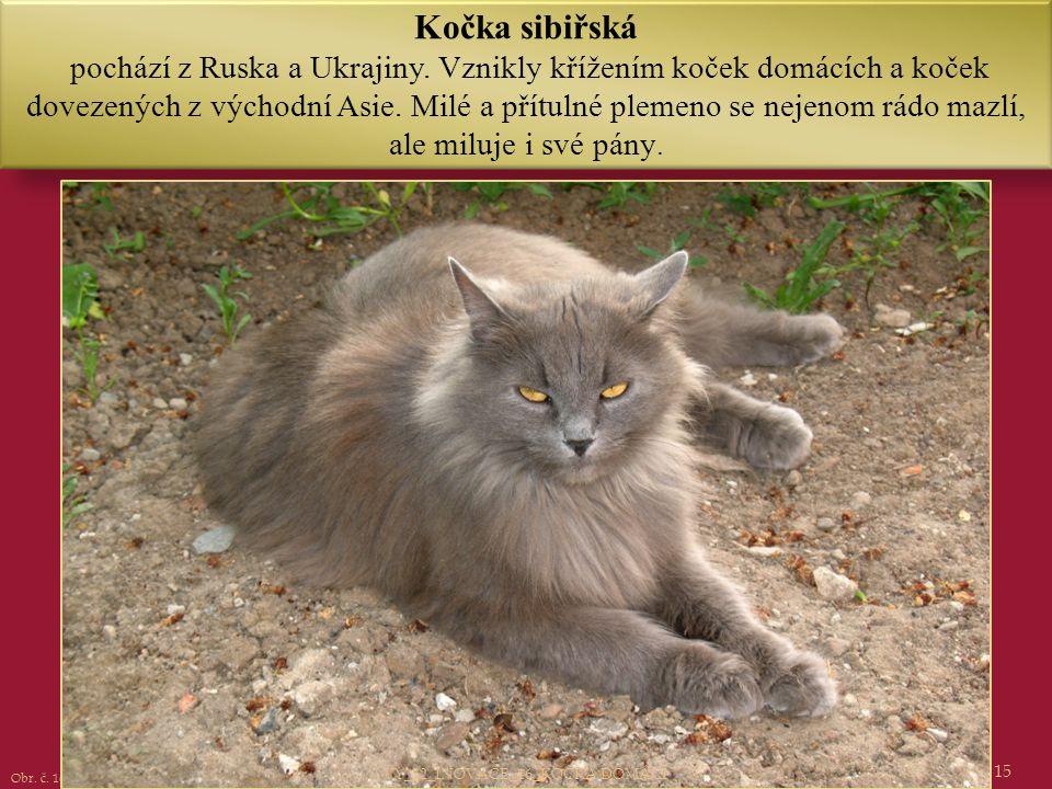 15 Kočka sibiřská pochází z Ruska a Ukrajiny. Vznikly křížením koček domácích a koček dovezených z východní Asie. Milé a přítulné plemeno se nejenom r