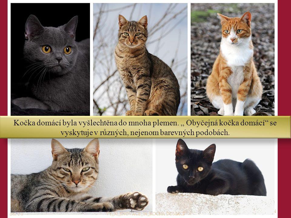 """4 Kočka domácí byla vyšlechtěna do mnoha plemen. """" Obyčejná kočka domácí"""" se vyskytuje v různých, nejenom barevných podobách. Obr. č. 3 VY_32_INOVACE_"""