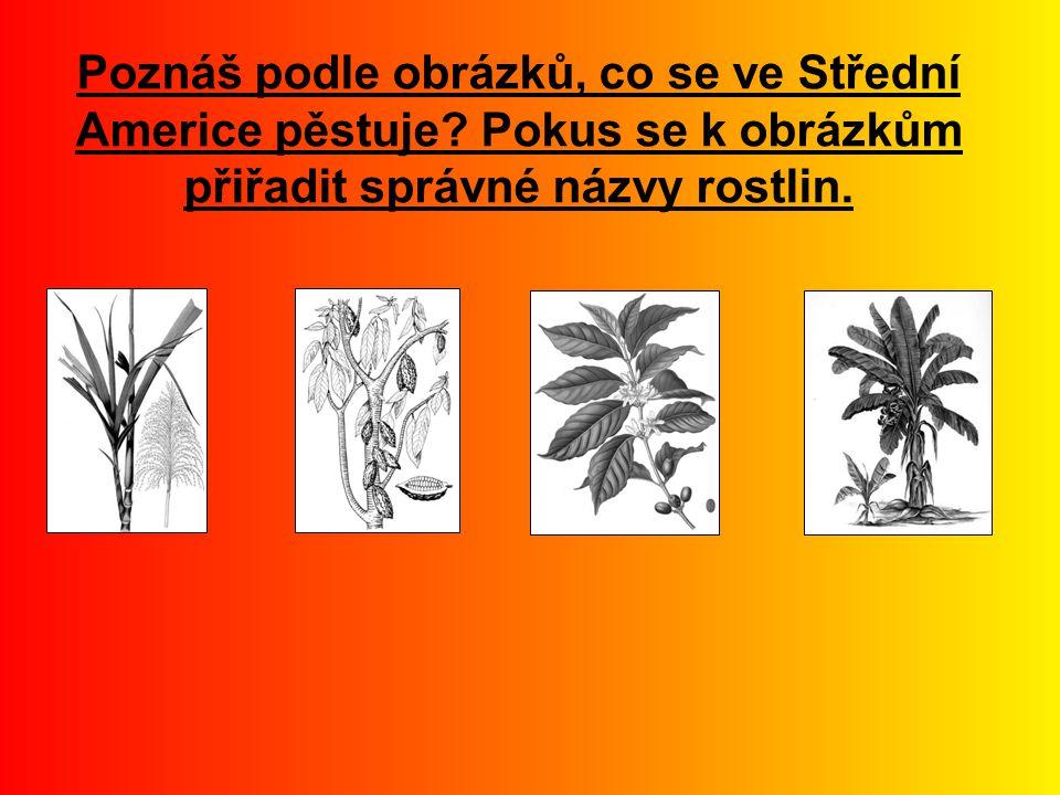 Poznáš podle obrázků, co se ve Střední Americe pěstuje? Pokus se k obrázkům přiřadit správné názvy rostlin.