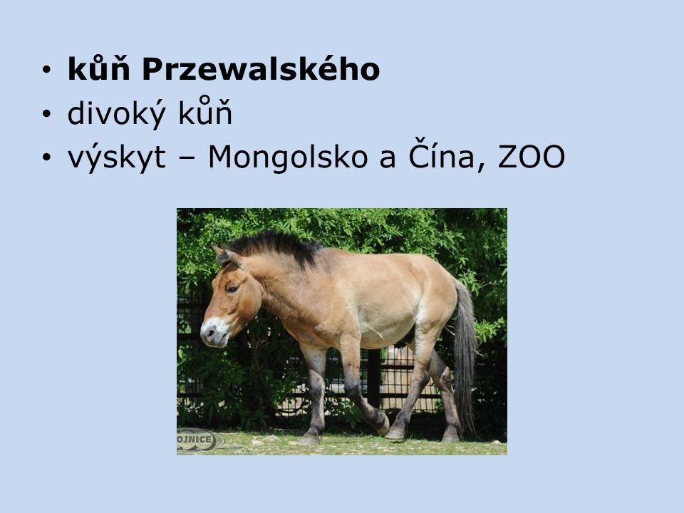 kůň Przewalského divoký kůň výskyt – Mongolsko a Čína, ZOO