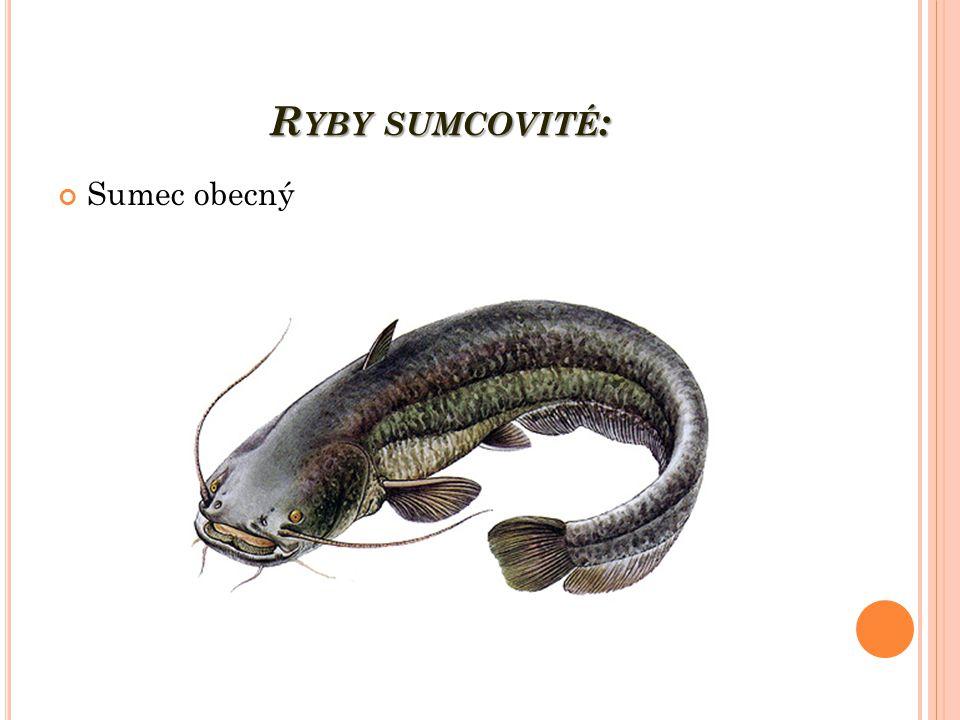 R YBY SUMCOVITÉ : Sumec obecný