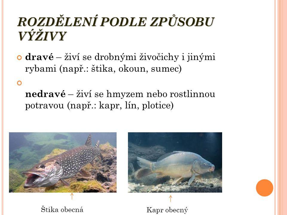 ROZDĚLENÍ PODLE ZPŮSOBU VÝŽIVY dravé – živí se drobnými živočichy i jinými rybami (např.: štika, okoun, sumec) nedravé – živí se hmyzem nebo rostlinnou potravou (např.: kapr, lín, plotice) Štika obecná Kapr obecný