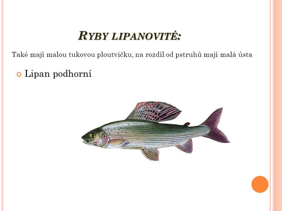 R YBY LIPANOVITÉ : Lipan podhorní Také mají malou tukovou ploutvičku, na rozdíl od pstruhů mají malá ústa