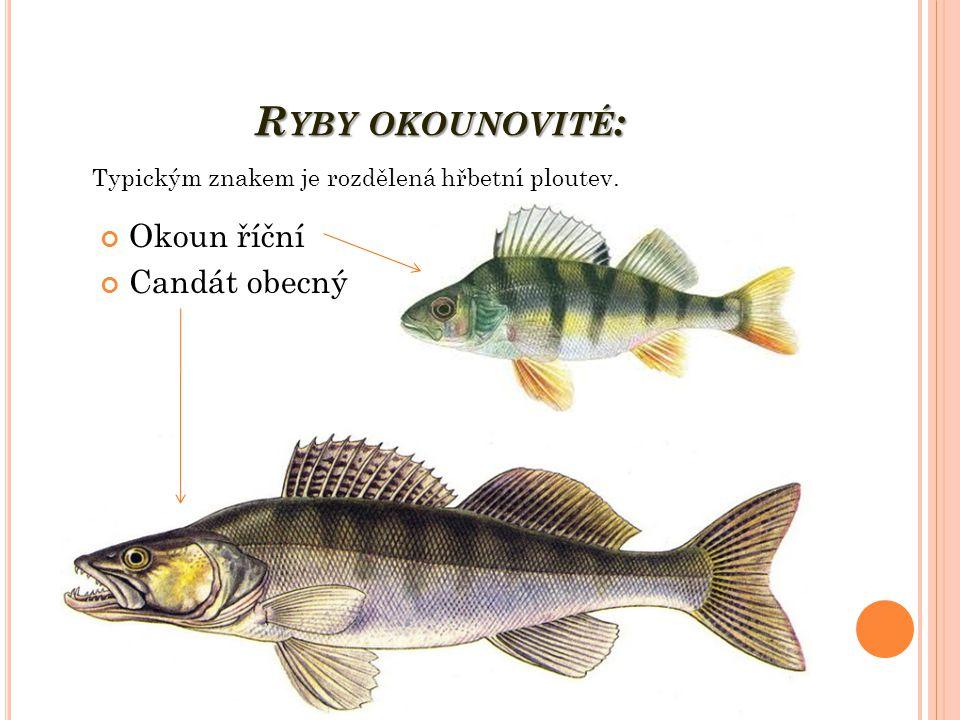 R YBY OKOUNOVITÉ : Okoun říční Candát obecný Typickým znakem je rozdělená hřbetní ploutev.