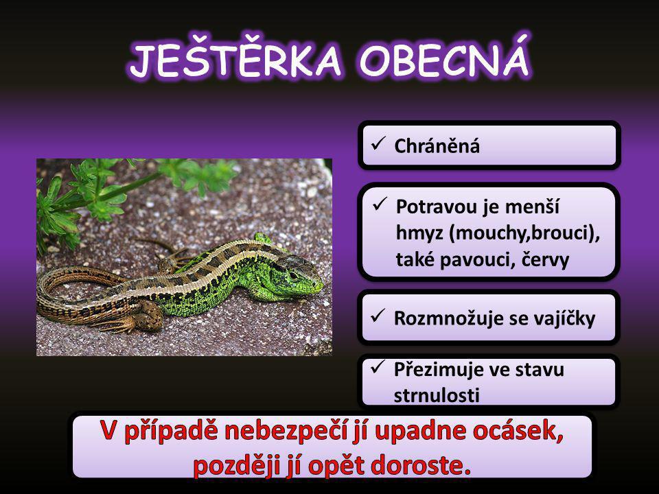 Patří mezi ještěrky Je vejcoživorodý Potravou jsou žížaly a slimáci, případně i různí členovci, larvy a červi