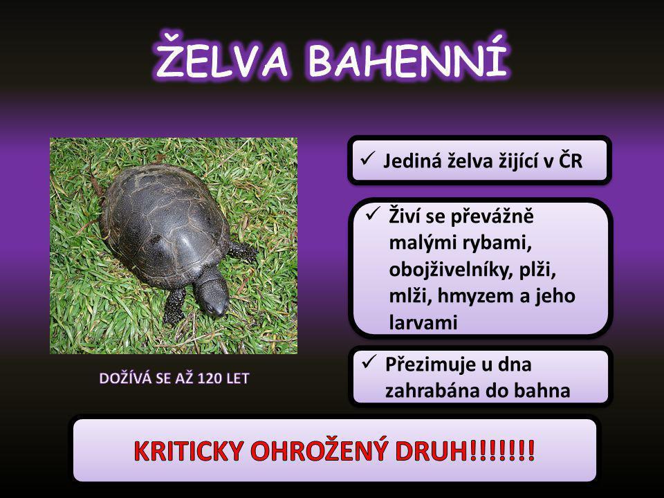 Jediná želva žijící v ČR Živí se převážně malými rybami, obojživelníky, plži, mlži, hmyzem a jeho larvami Přezimuje u dna zahrabána do bahna