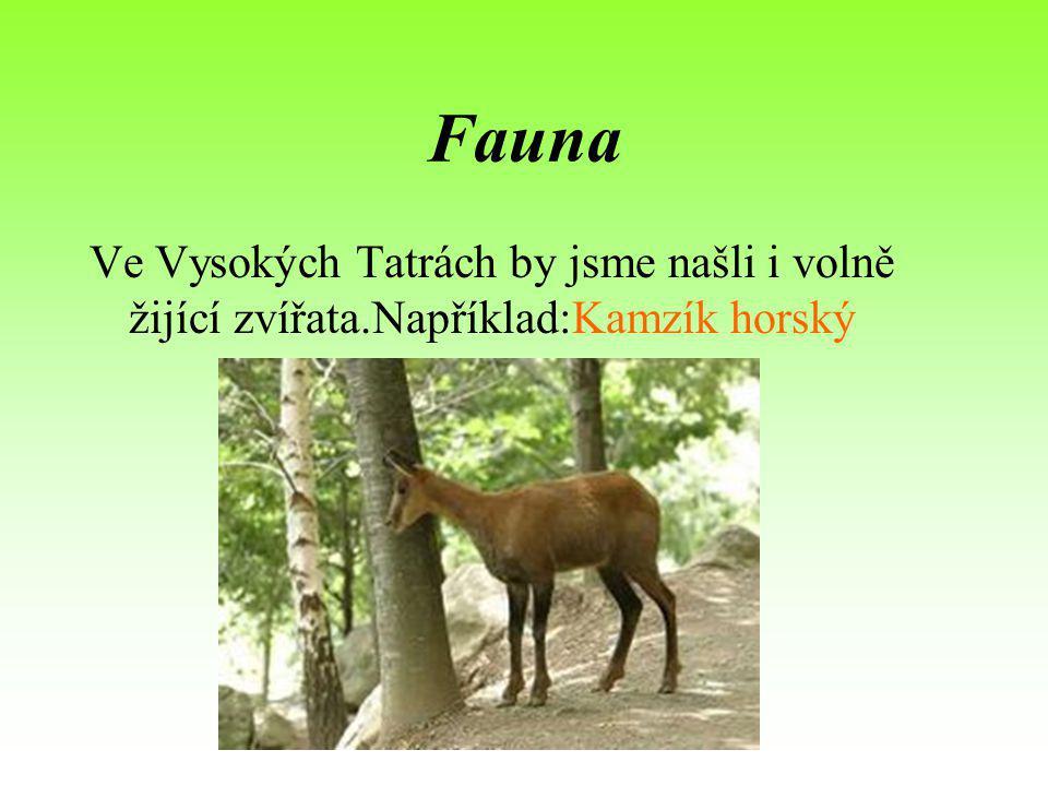 Fauna Ve Vysokých Tatrách by jsme našli i volně žijící zvířata.Například:Kamzík horský