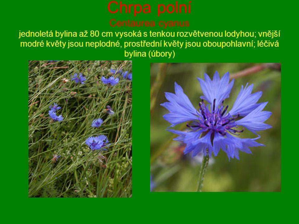 Chrpa polní Centaurea cyanus jednoletá bylina až 80 cm vysoká s tenkou rozvětvenou lodyhou; vnější modré květy jsou neplodné, prostřední květy jsou ob