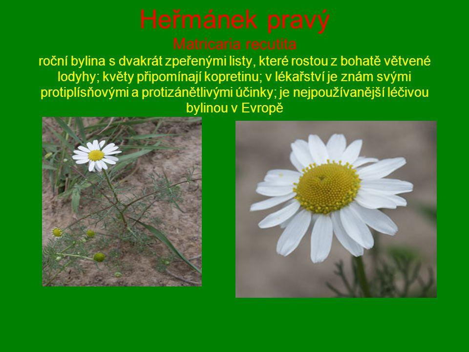 Heřmánek pravý Matricaria recutita roční bylina s dvakrát zpeřenými listy, které rostou z bohatě větvené lodyhy; květy připomínají kopretinu; v lékařs