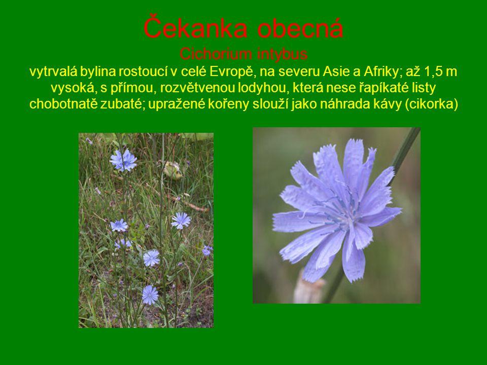 Čekanka obecná Cichorium intybus vytrvalá bylina rostoucí v celé Evropě, na severu Asie a Afriky; až 1,5 m vysoká, s přímou, rozvětvenou lodyhou, kter