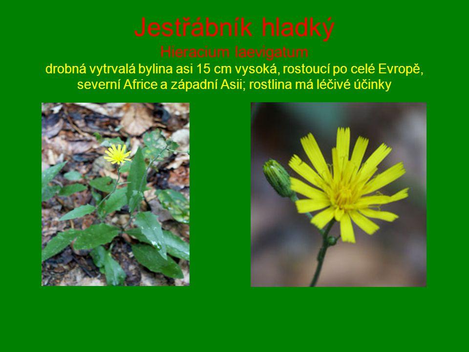 Jestřábník hladký Hieracium laevigatum drobná vytrvalá bylina asi 15 cm vysoká, rostoucí po celé Evropě, severní Africe a západní Asii; rostlina má lé
