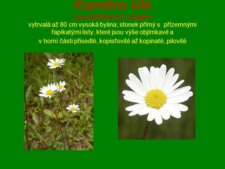 Kopretina bílá Leucanthemum vulgare vytrvalá až 80 cm vysoká bylina; stonek přímý s přízemnými řapíkatými listy, které jsou výše objímkavé a v horní č