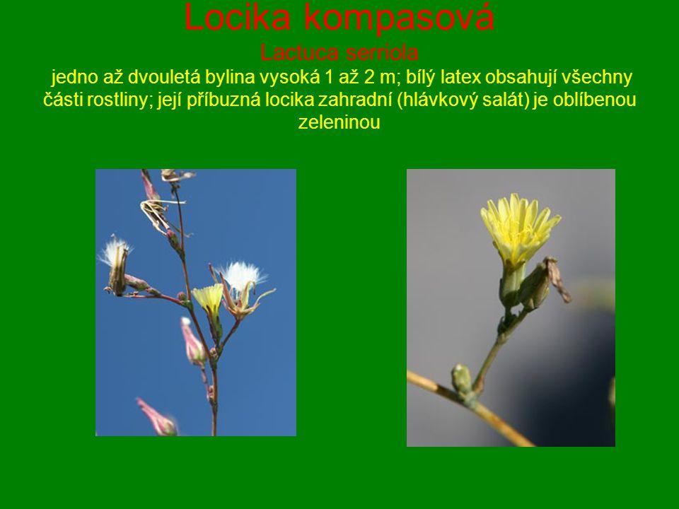 Locika kompasová Lactuca serriola jedno až dvouletá bylina vysoká 1 až 2 m; bílý latex obsahují všechny části rostliny; její příbuzná locika zahradní
