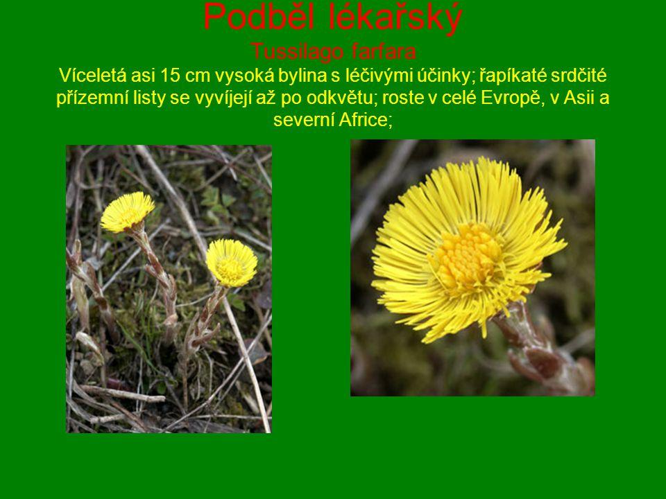 Podběl lékařský Tussilago farfara Víceletá asi 15 cm vysoká bylina s léčivými účinky; řapíkaté srdčité přízemní listy se vyvíjejí až po odkvětu; roste
