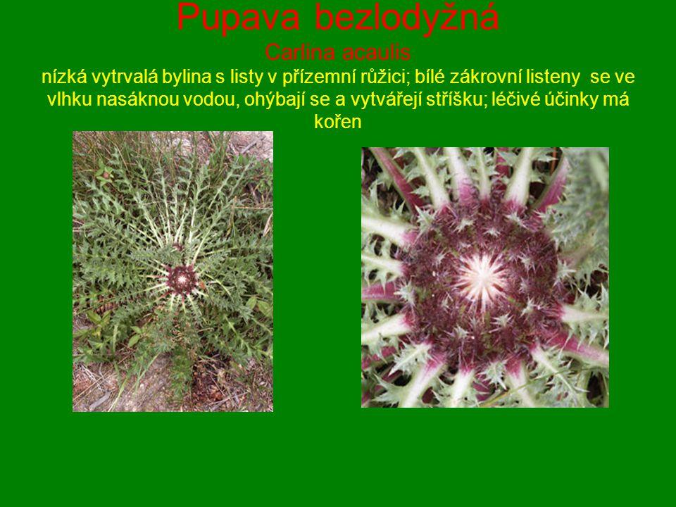 Pupava bezlodyžná Carlina acaulis nízká vytrvalá bylina s listy v přízemní růžici; bílé zákrovní listeny se ve vlhku nasáknou vodou, ohýbají se a vytv