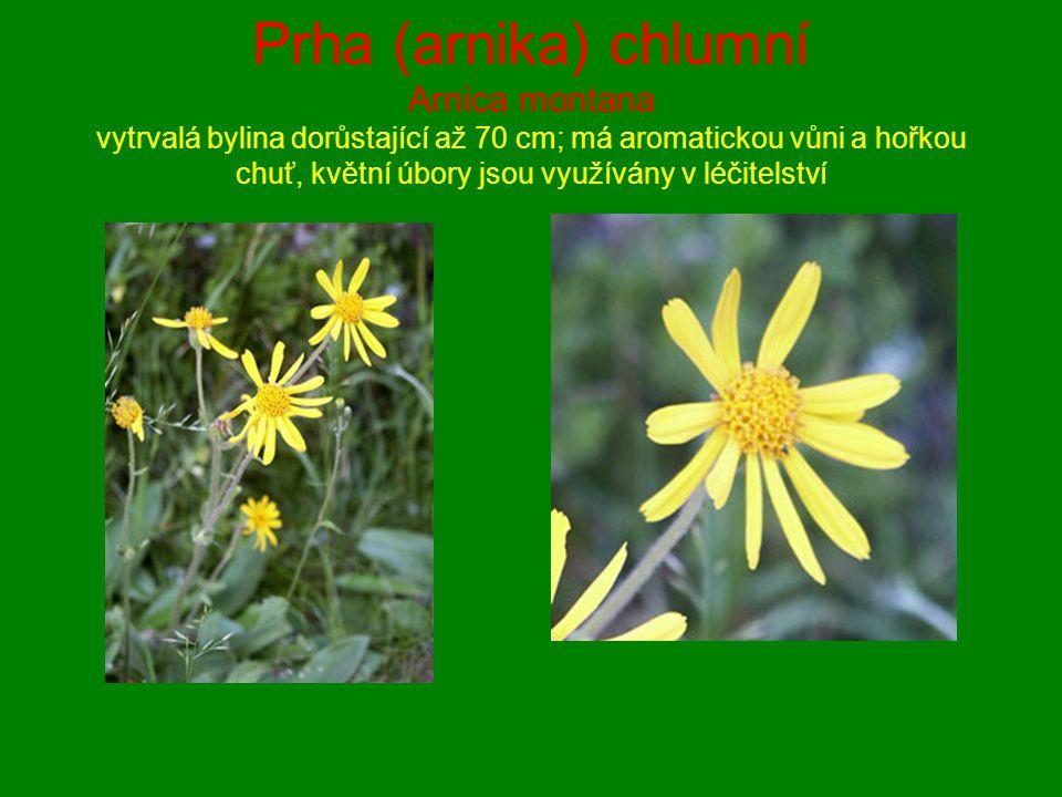 Prha (arnika) chlumní Arnica montana vytrvalá bylina dorůstající až 70 cm; má aromatickou vůni a hořkou chuť, květní úbory jsou využívány v léčitelstv