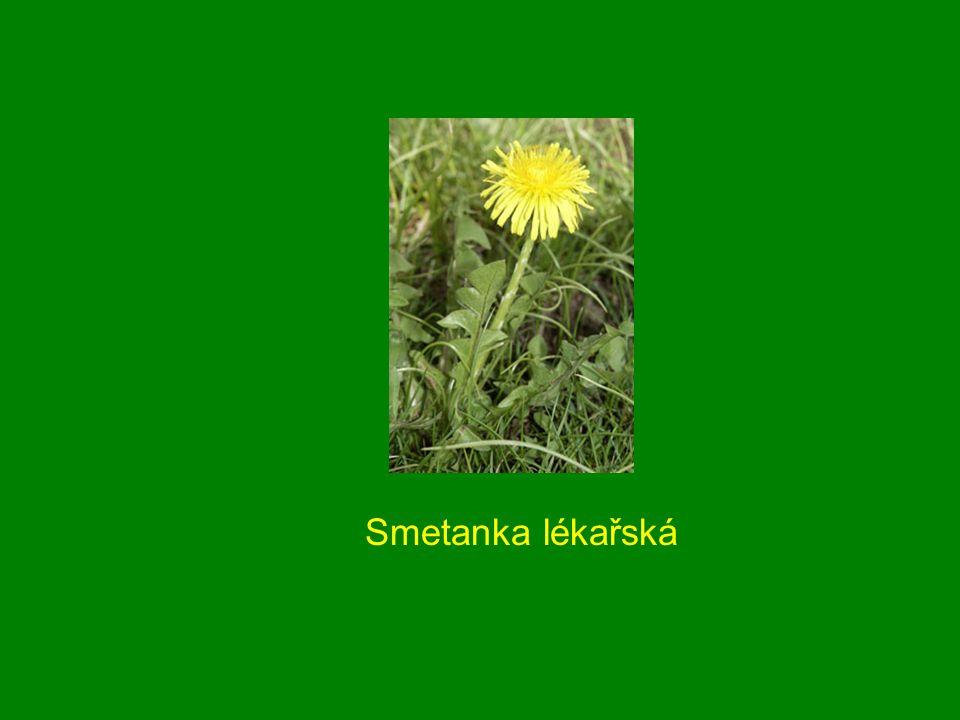 Smetanka lékařská