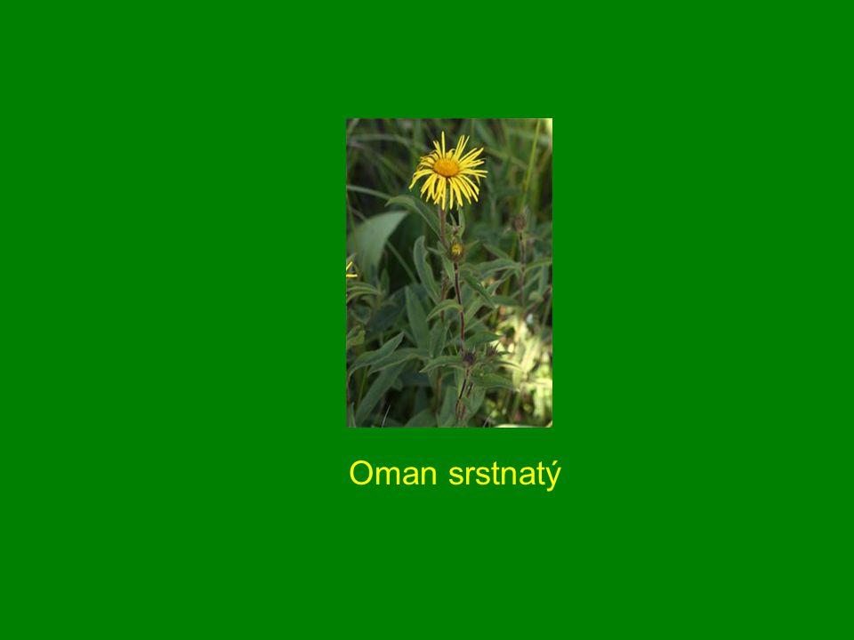 Oman srstnatý