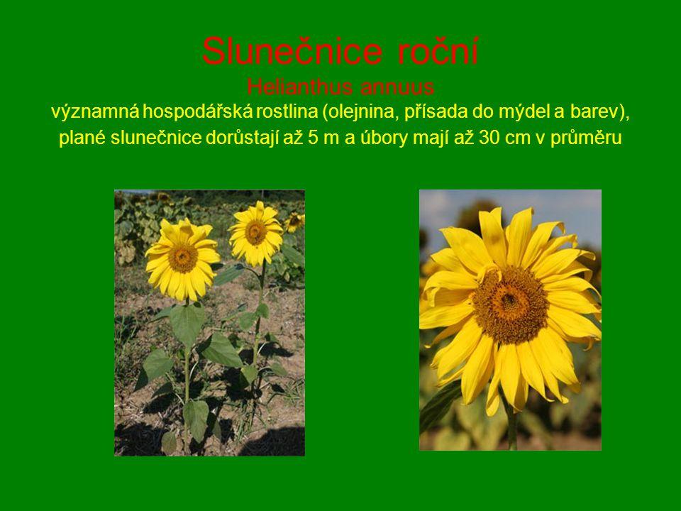 Slunečnice roční Helianthus annuus významná hospodářská rostlina (olejnina, přísada do mýdel a barev), plané slunečnice dorůstají až 5 m a úbory mají