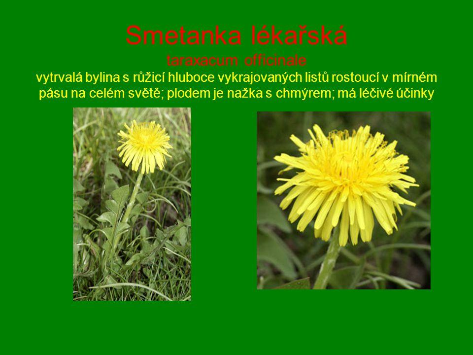 Smetanka lékařská taraxacum officinale vytrvalá bylina s růžicí hluboce vykrajovaných listů rostoucí v mírném pásu na celém světě; plodem je nažka s c