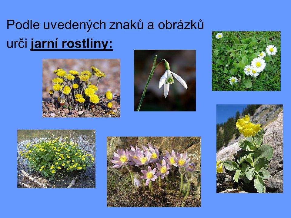 Sněženka podsněžník  amarylkovité  10-20 cm vysoká bylina  květy bílé-3 vnější okvětní lístky bílé  3 vnitřní okvětní lístky kratší se zeleným lemem  roste na vlhkých půdách kolem potoků a pěstuje se jako zahradní rostlina