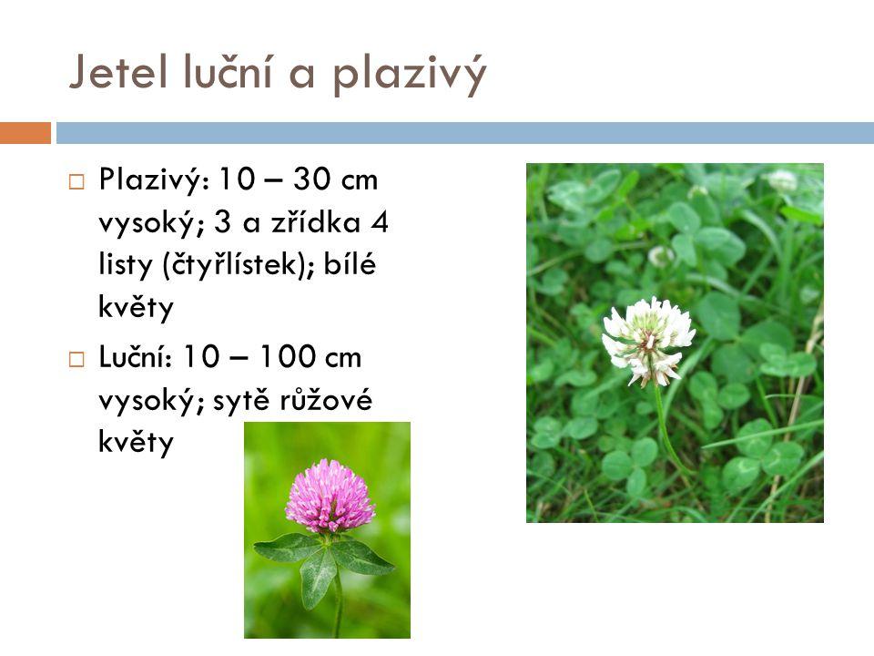 Jetel luční a plazivý  Plazivý: 10 – 30 cm vysoký; 3 a zřídka 4 listy (čtyřlístek); bílé květy  Luční: 10 – 100 cm vysoký; sytě růžové květy