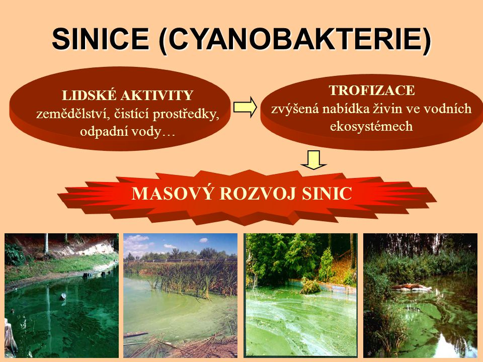 SINICE (CYANOBAKTERIE) LIDSKÉ AKTIVITY zemědělství, čistící prostředky, odpadní vody… TROFIZACE zvýšená nabídka živin ve vodních ekosystémech MASOVÝ R