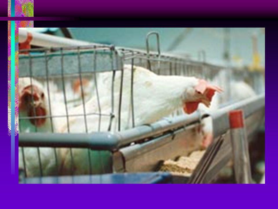 Parametry užitkovosti drůbeže v užitkových chovech : SLEPICE NOSNÉHO TYPU : 260 - 320 vajec ročně při spotřebě 130 g KS na 1 vejce (40-45 kg) VÝKRM KU