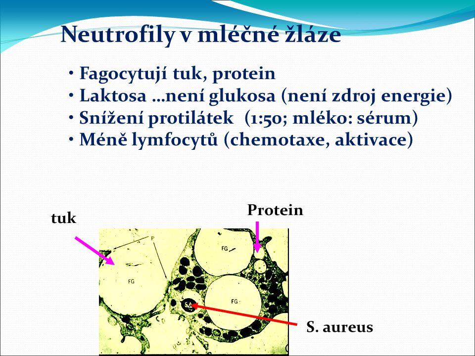 Neutrofily v mléčné žláze Fagocytují tuk, protein Laktosa …není glukosa (není zdroj energie) Snížení protilátek (1:50; mléko: sérum) Méně lymfocytů (chemotaxe, aktivace) tuk Protein S.