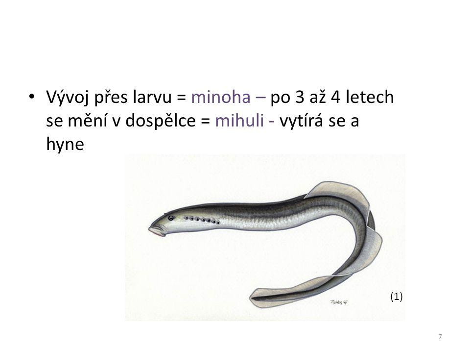Vývoj přes larvu = minoha – po 3 až 4 letech se mění v dospělce = mihuli - vytírá se a hyne 7 (1)