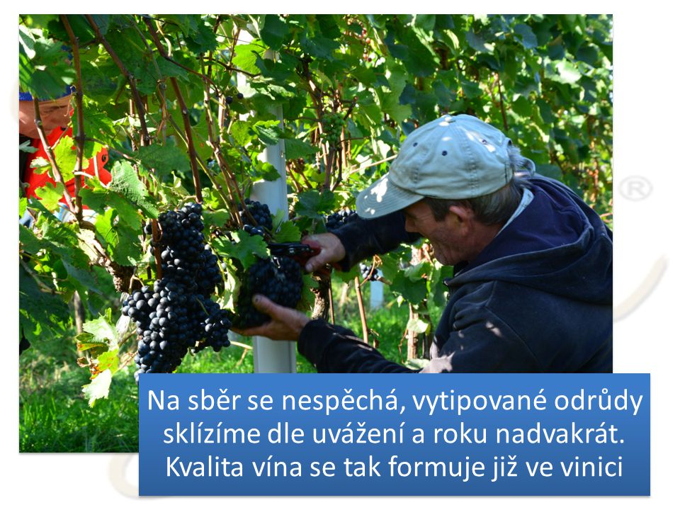 Na sběr se nespěchá, vytipované odrůdy sklízíme dle uvážení a roku nadvakrát.