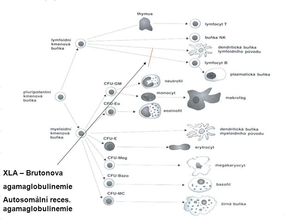 XLA – Brutonova agamaglobulinemie Autosomální reces. agamaglobulinemie