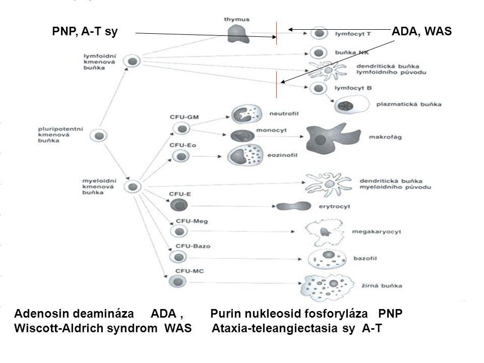 ADA, WAS PNP, A-T sy Adenosin deamináza ADA, Purin nukleosid fosforyláza PNP Wiscott-Aldrich syndrom WAS Ataxia-teleangiectasia sy A-T