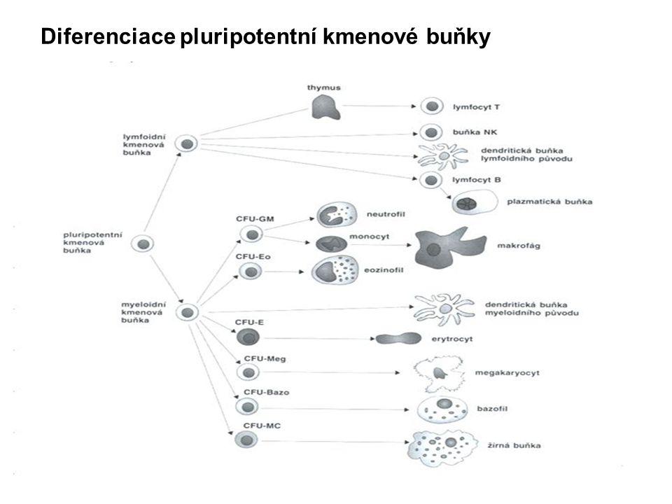 Diferenciace pluripotentní kmenové buňky