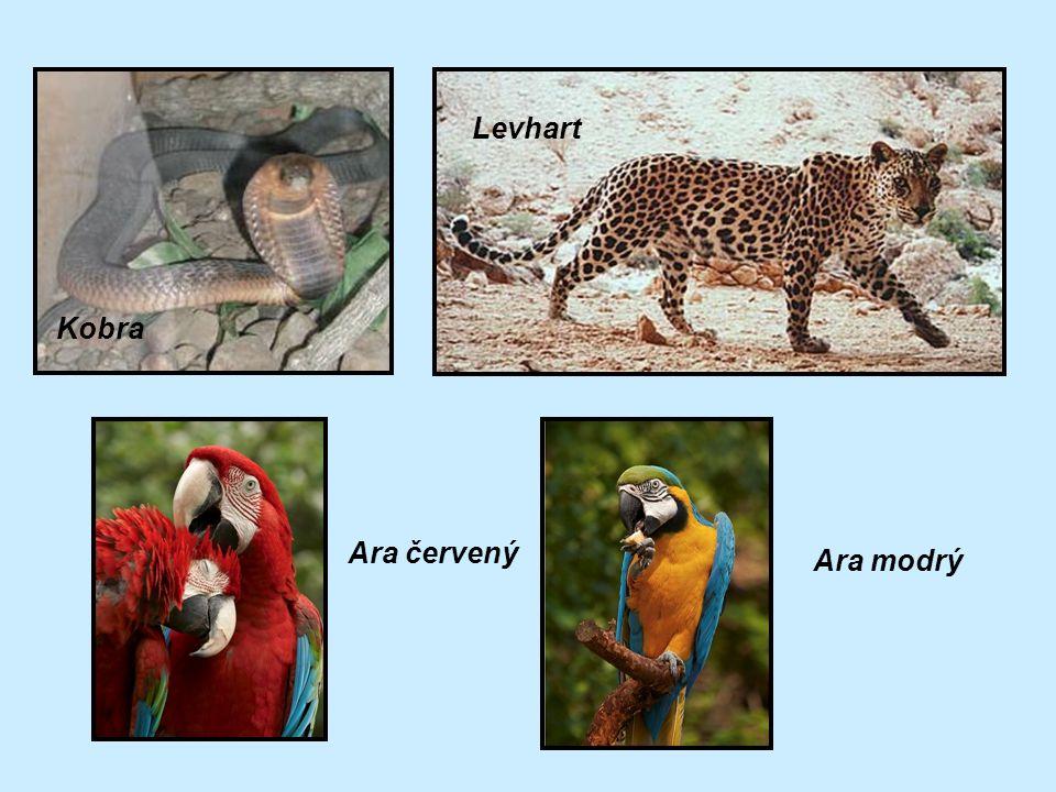 Kobra Levhart Ara červený Ara modrý