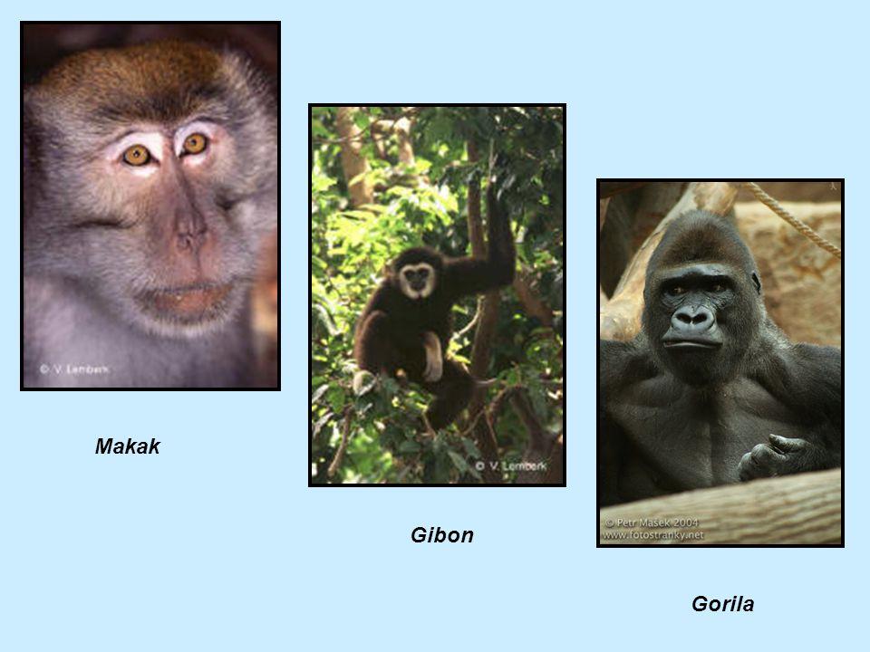 Makak Gibon Gorila